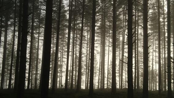 pine-1656829.jpg